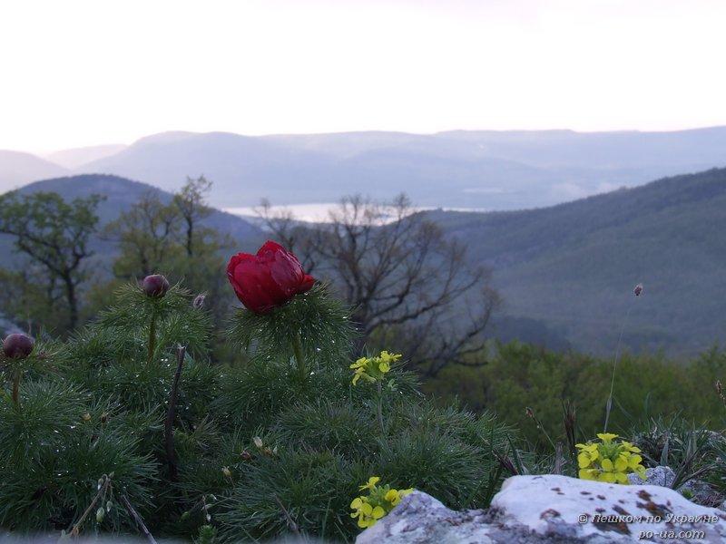 Цветение пиона узколистного