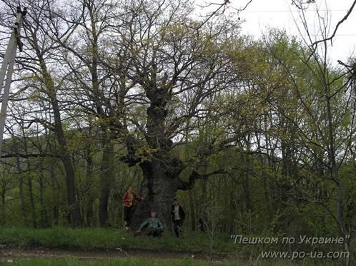 У огромного дуба