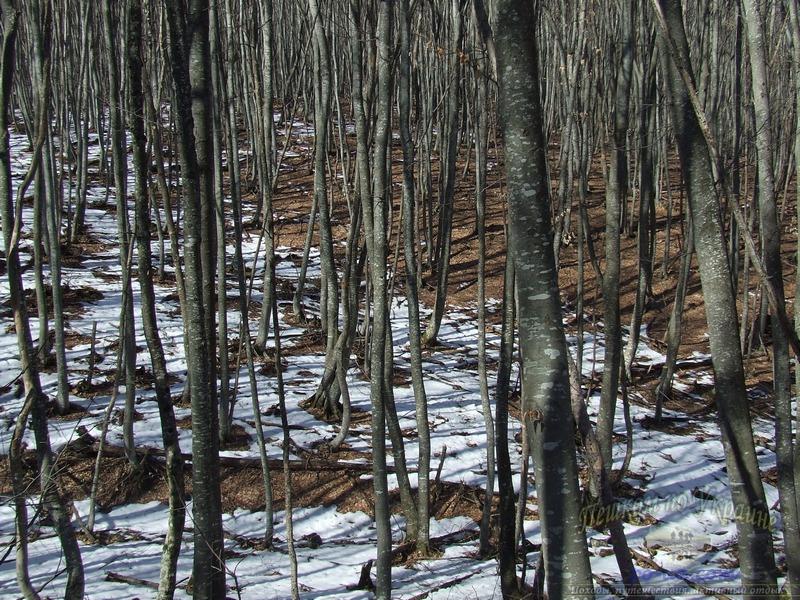 Буковый лес весной
