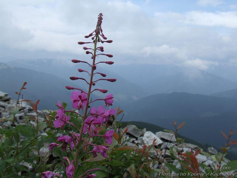 Цветок в горах
