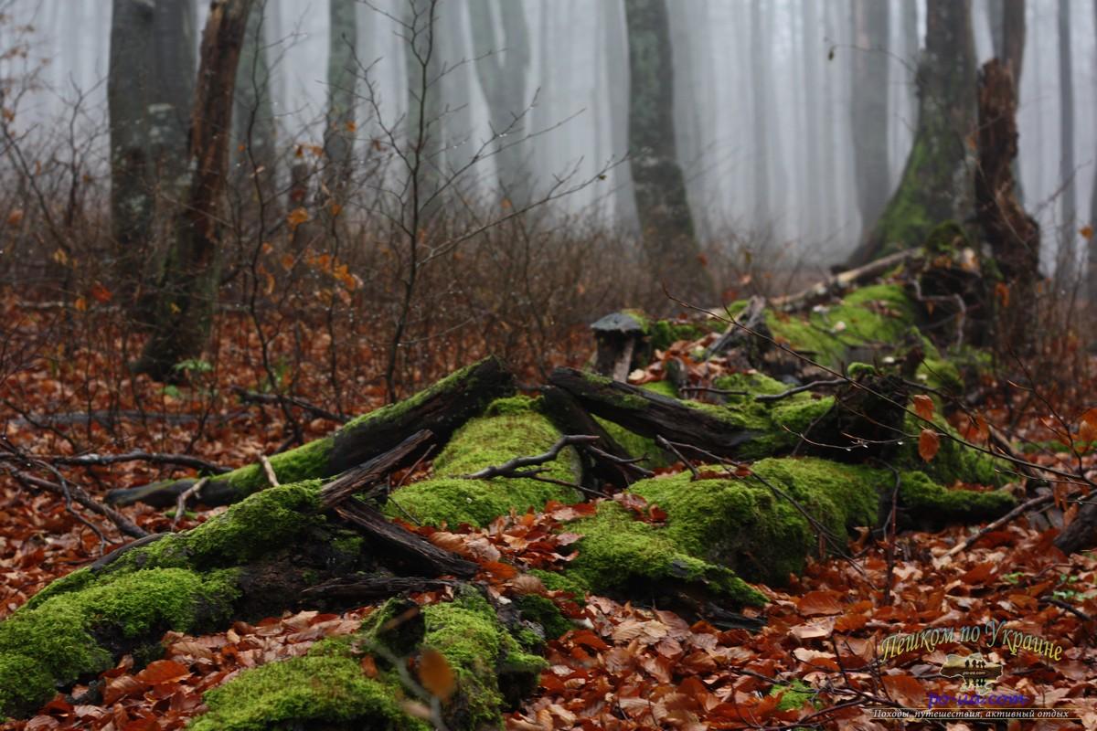 Мох в буковом лесу