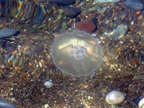Черноморская медуза