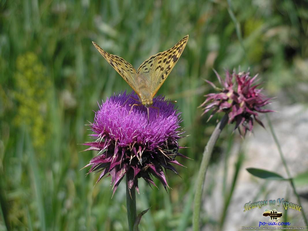 Бабочка на чертополохе