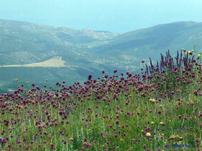 Цветение дикого чеснока на Демерджи-яйле