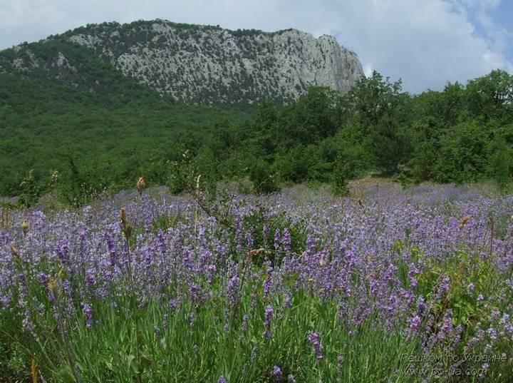 Поле лаванды под горой Парагельмен