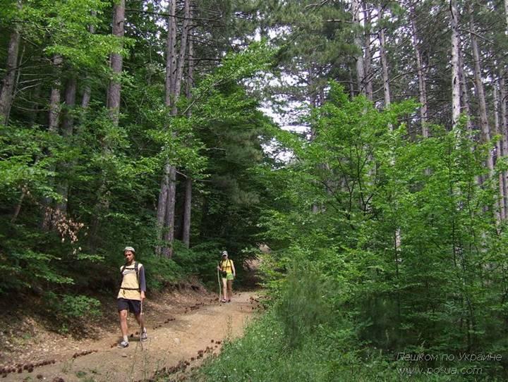 По сосновому лесу