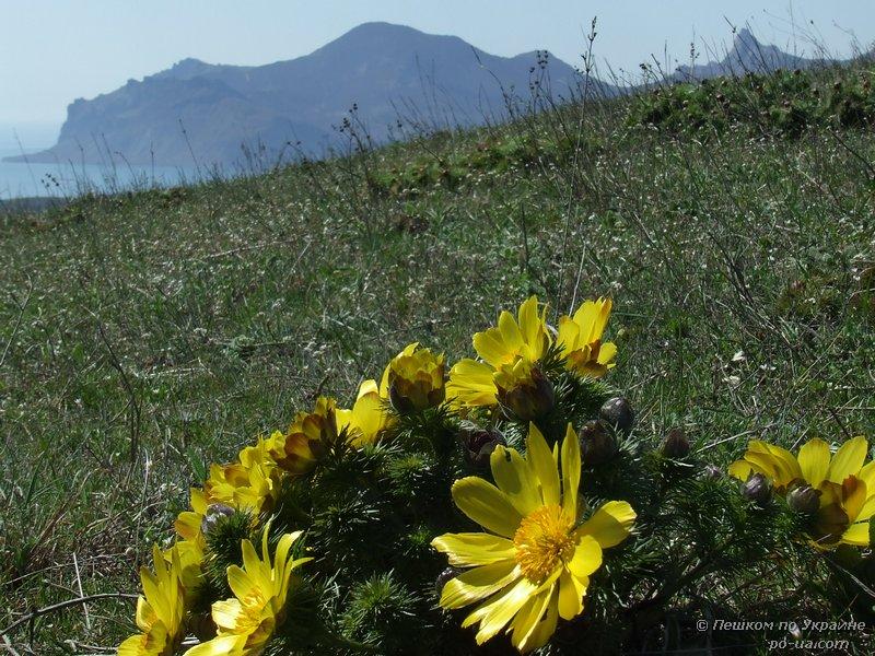Адонис весенний на фоне Карадага