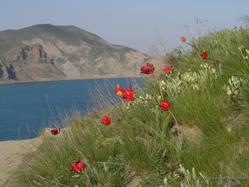 Цветение диких тюльпанов у берега моря