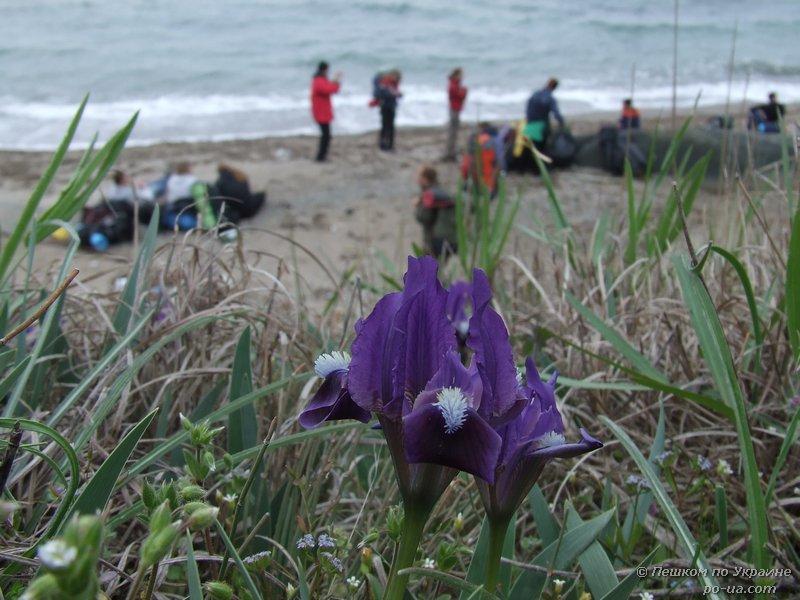 Цветение дикого ириса у берега моря