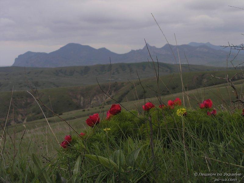 Цветение диких пионов на фоне Карадага
