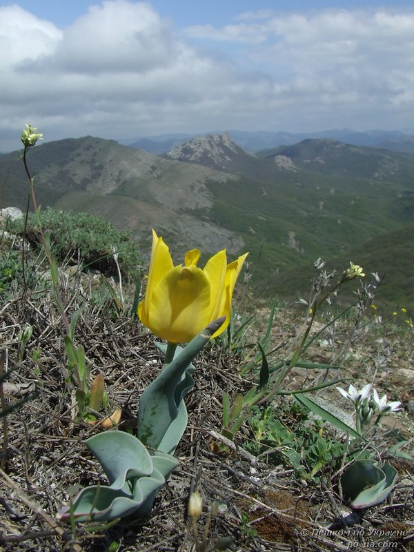 Дикий желтый тюльпан