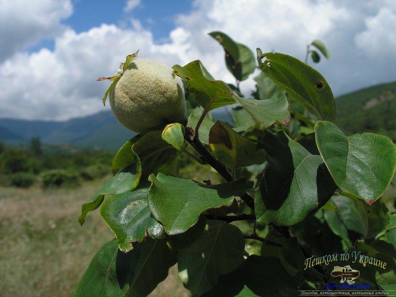 Плоды Айвы в Крымской долине