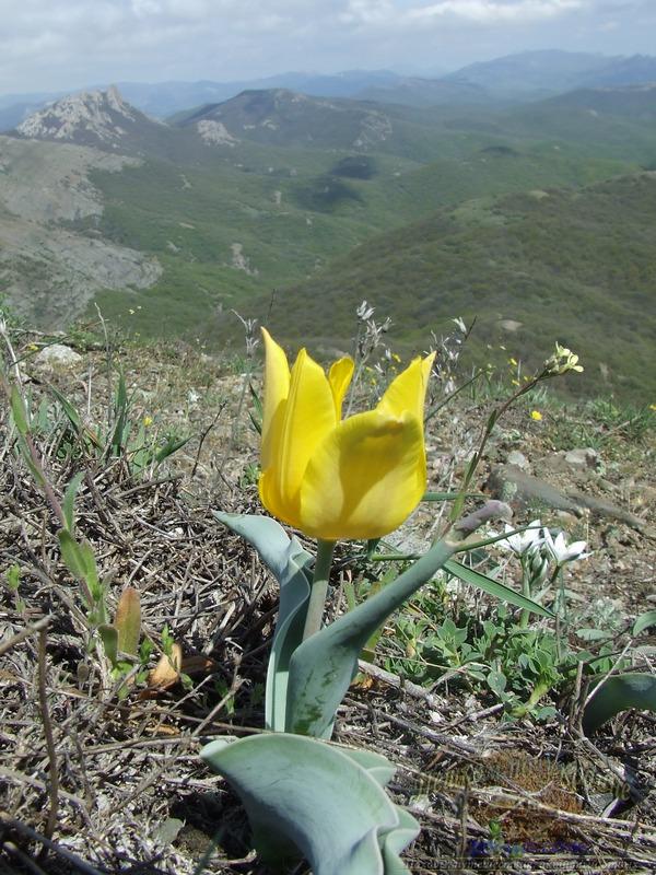 Цветение дикого тюльпана