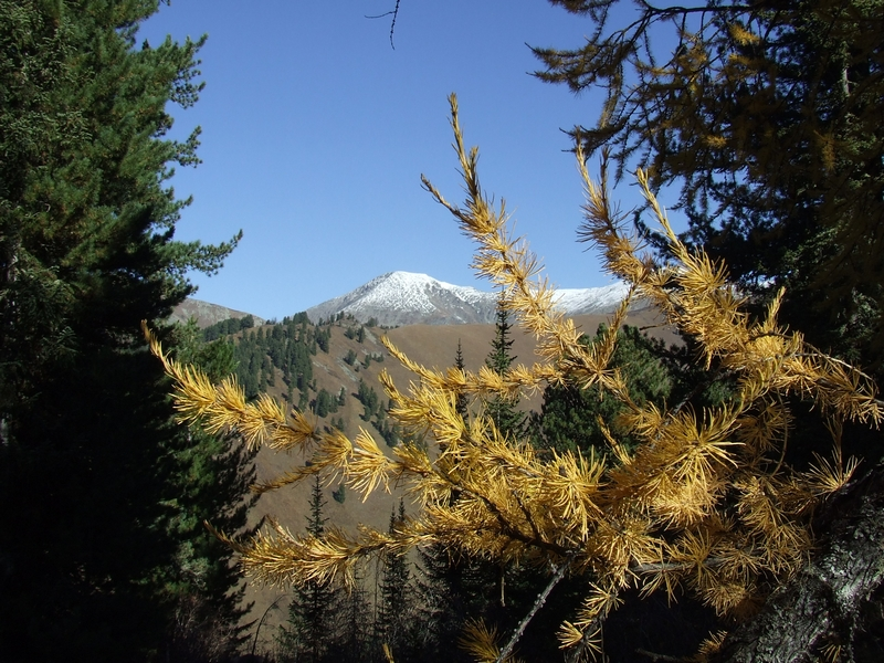 Алтайская лиственница